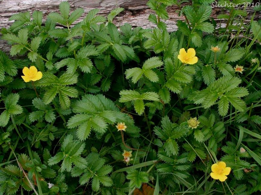 Those Medicinal Weeds: Silverweed {Potentillaanserina}