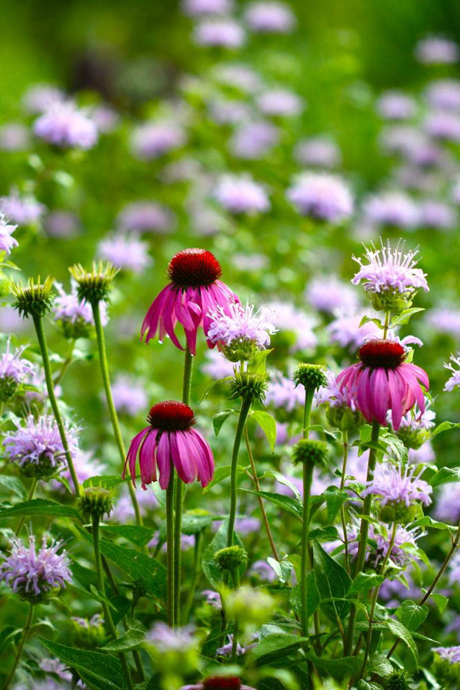 Top-Ten-Medicinal-Herbs-for-the-Garden-Echinacea-purpurea-growing-with-wild-bergamot1