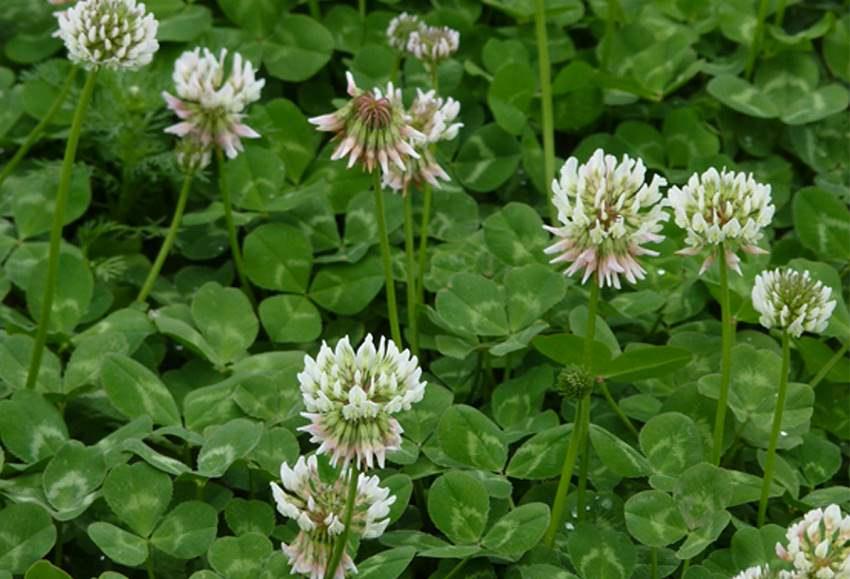 Plant Profile: White Clover {Trifoliumrepens}