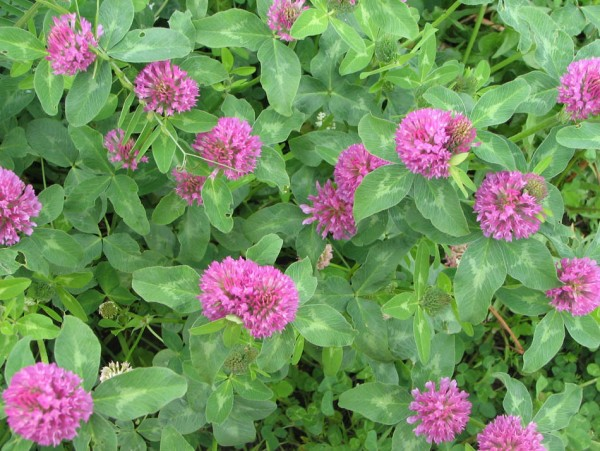 alfalfa plant2