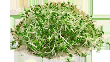 alfalfa-Sprouts
