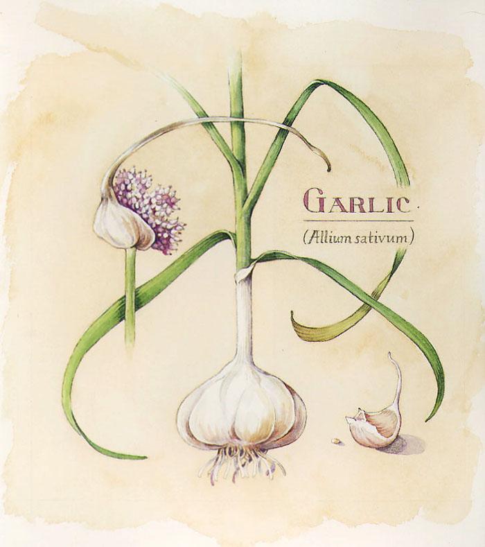 garlic botanical art