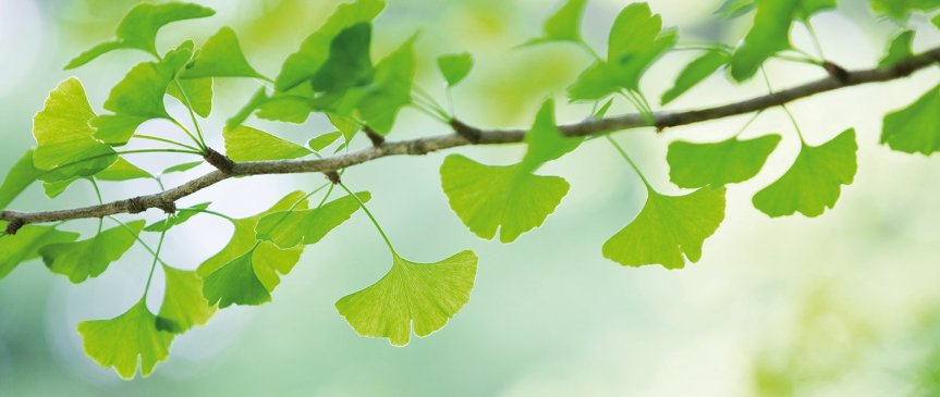 Safety of Ginkgo Biloba Leaf Extract in the Elderly