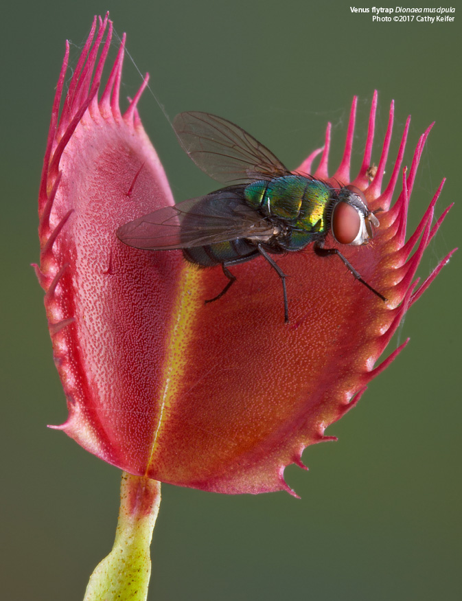 The Venus Flytrap: Conserving the Carnivorous Curiosity