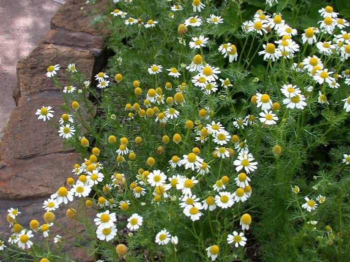 Herb Guide: Chamomile
