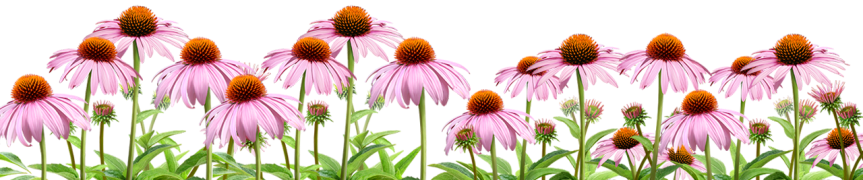 Herb Guide: Echinacea