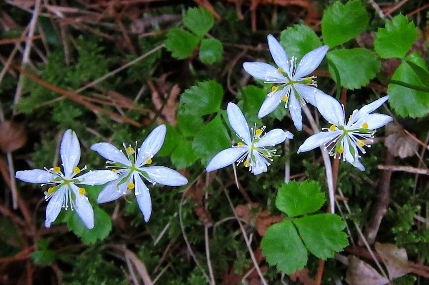 Endangered Species; Herb Guide:Goldthread
