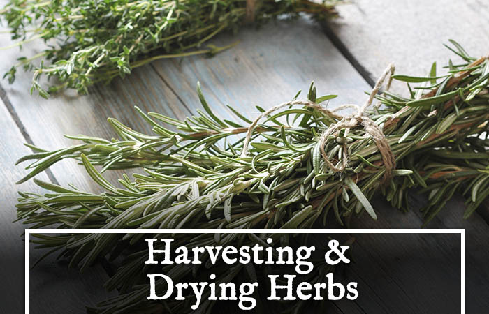 Quick Guide to Harvesting, Drying, Preserving and Storing Your Herbs