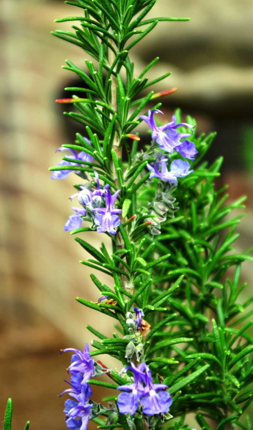 Herb Guide: Growing and Using Rosemary
