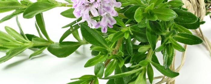 thyme oil   Crooked Bear Creek Organic Herbs