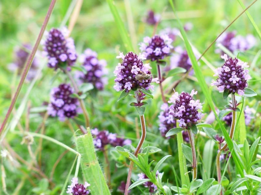Herb Guide: Wild Thyme {Thymusserpyllum}