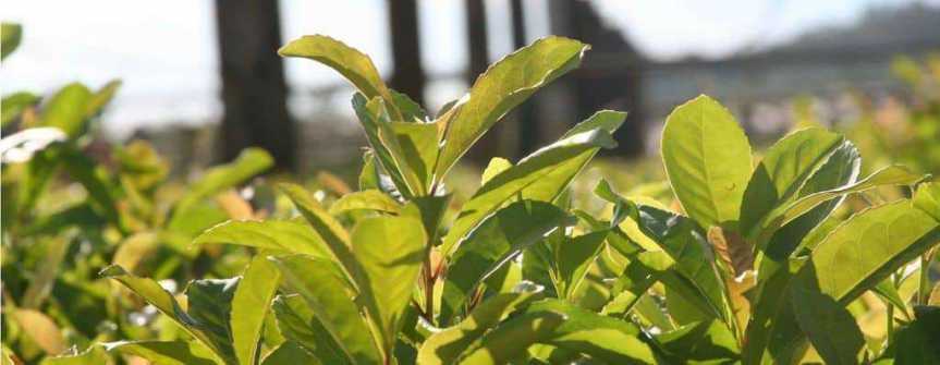 Effects of Yerba Maté on Metabolism, Satiety, and Mood at Rest and duringExercise