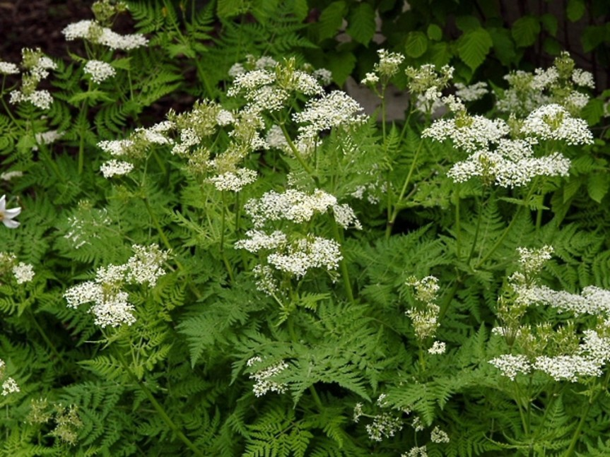 Aromatic Culinary Herb Called the Anise {Pimpinella anisum}
