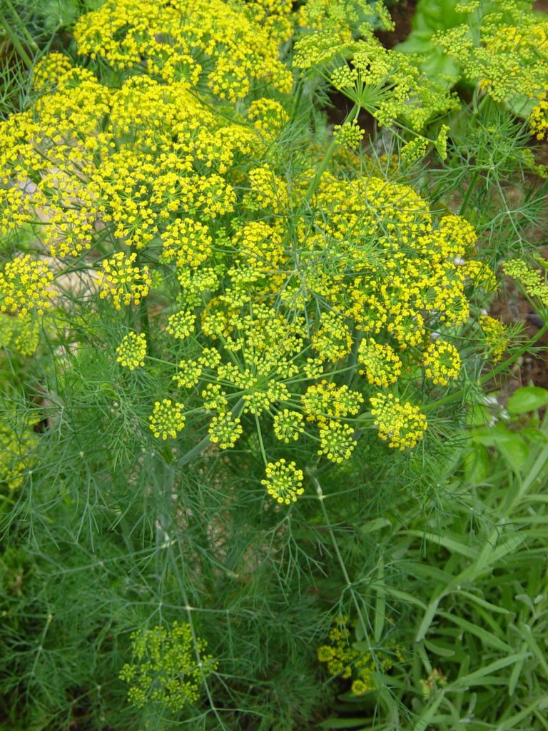 Aromatic Culinary Herb Called the Dill