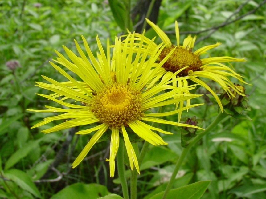 What Is Elecampane?