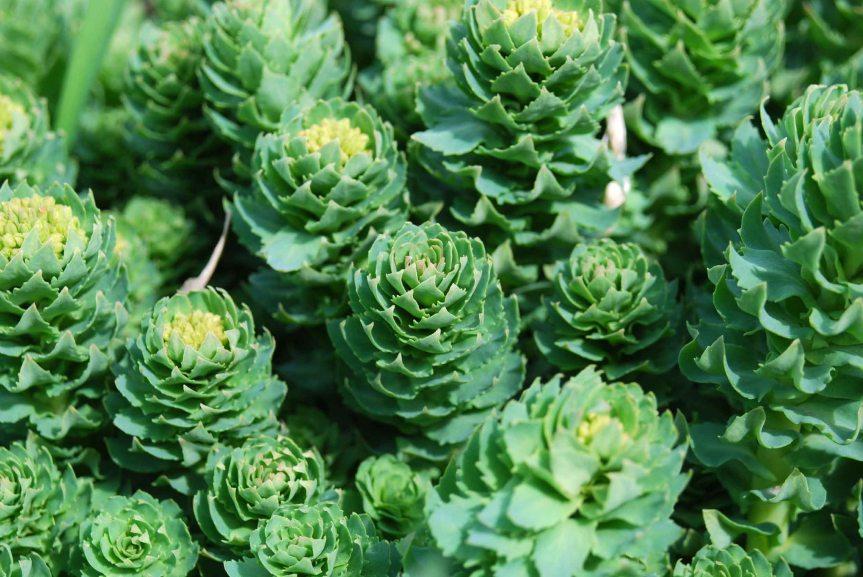 Medicinal Value of Tibetan Rhodiola {Rhodiolasacra}