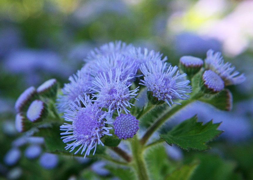 What Is: Ageratum?