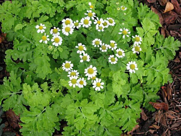 Summer Herbs: Feverfew {Tanacetumparthenium}