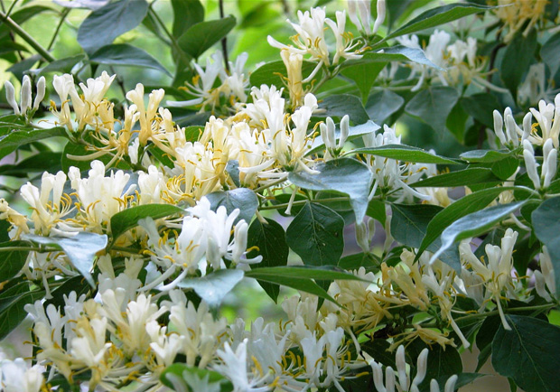Honeysuckle – August Flower of the Month.