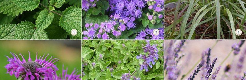 6 Bug Repellent Patio Plants Crooked Bear Creek Organic Herbs