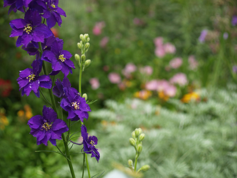 Larkspur is the Flower of the Month of July