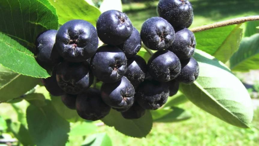 Black Chokeberry Improves Diabetes-related Oxidative Stress and LipidProfiles