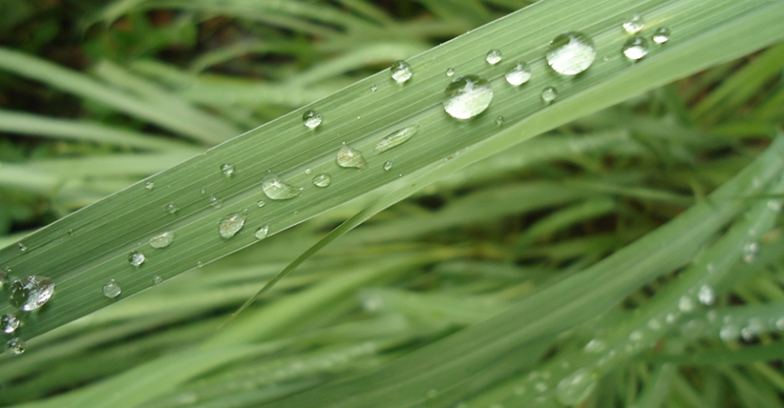 Food as Medicine: West Indian Lemongrass (Cymbopogon citratus, Poaceae)