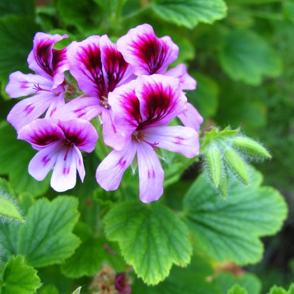 Effects of Geranium Aroma on Anxiety in Heart AttackPatients