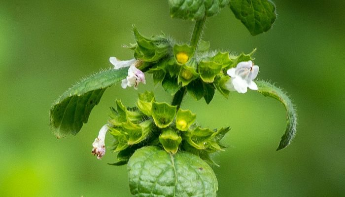 Biodiversity and Phytochemistry of Lemon Balm