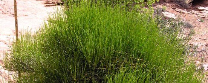 Ephedra (Ephedra sinica | Crooked Bear Creek Organic Herbs