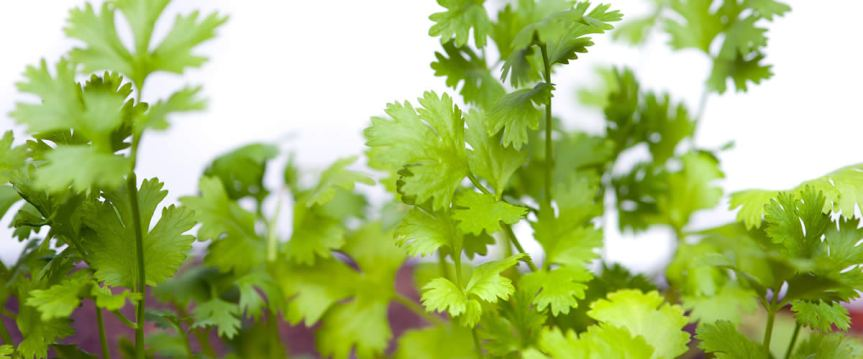 Consumption of Garlic, Coriander, and a Combination of the Two Improved the Lipid Profiles of Patients with Hyperlipidemia