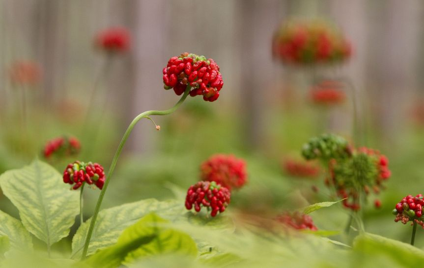 American Ginseng Extract Used with Conventional Therapy Enhances Management of Type 2 DiabetesMellitus