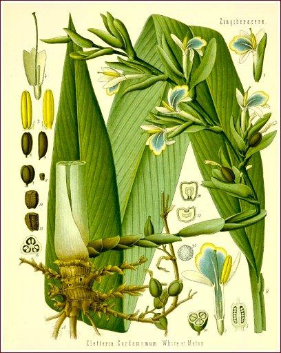 cardamom-botany