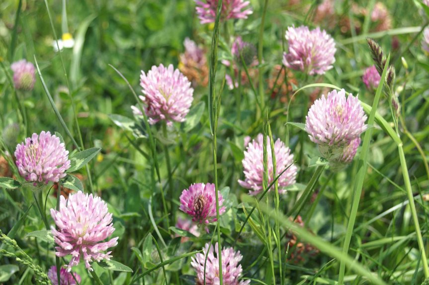 The Beautiful Herb That's Amazing for Your Heart; Red Clover Benefits