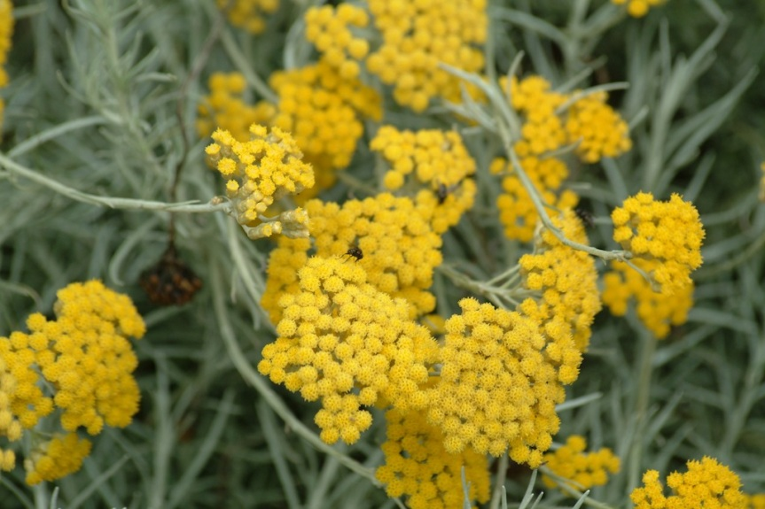 The Sleeping Giant of Mediterranean Herbal Medicine: Helichrysum italicum