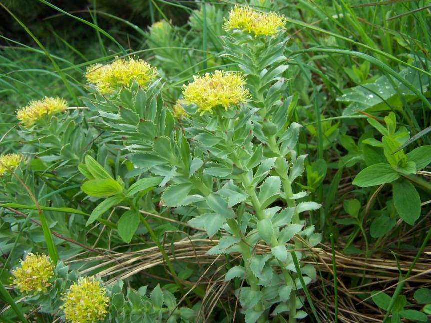Assessing Potential Efficacy of Rhodiola Extract for Cognitive Symptoms of Stress Using a Bioassay Model of Memory