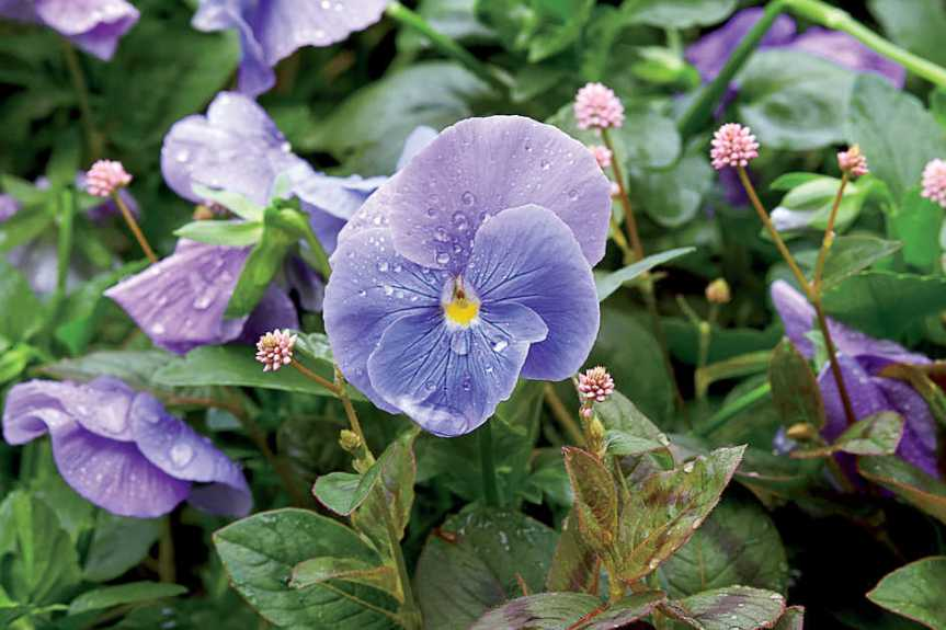 Medicinal and Culinary Uses for the Shy Violet