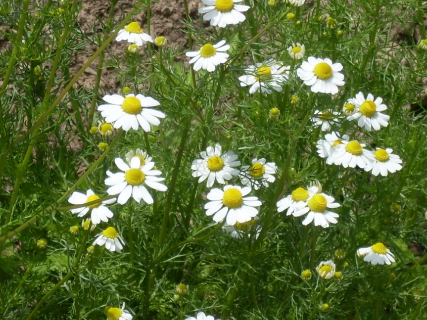 Chamomile Reduces Testosterone Levels in Women with PCOS
