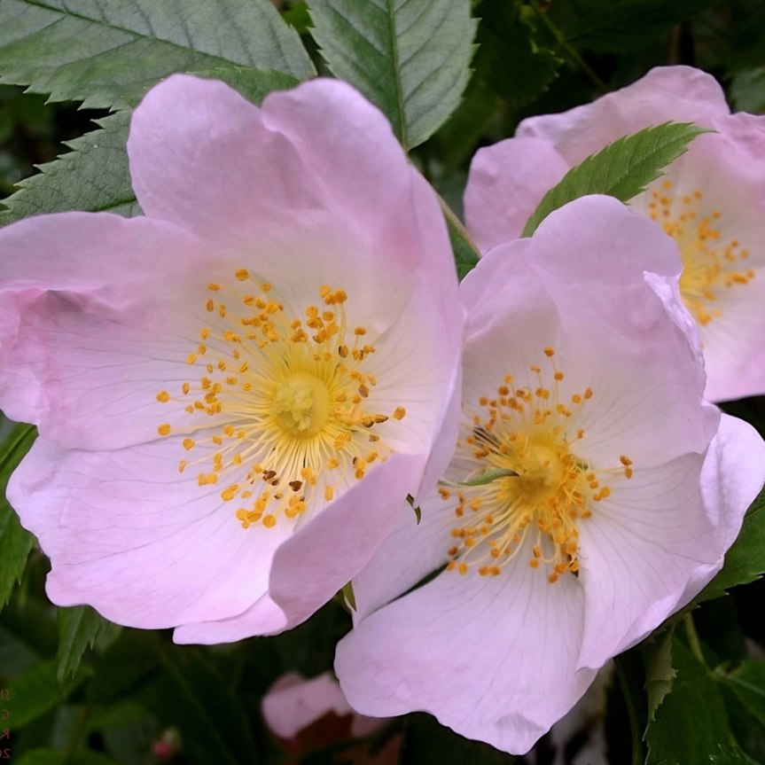 Dog Rose for the Prevention of Postpartum Urinary TractInfections