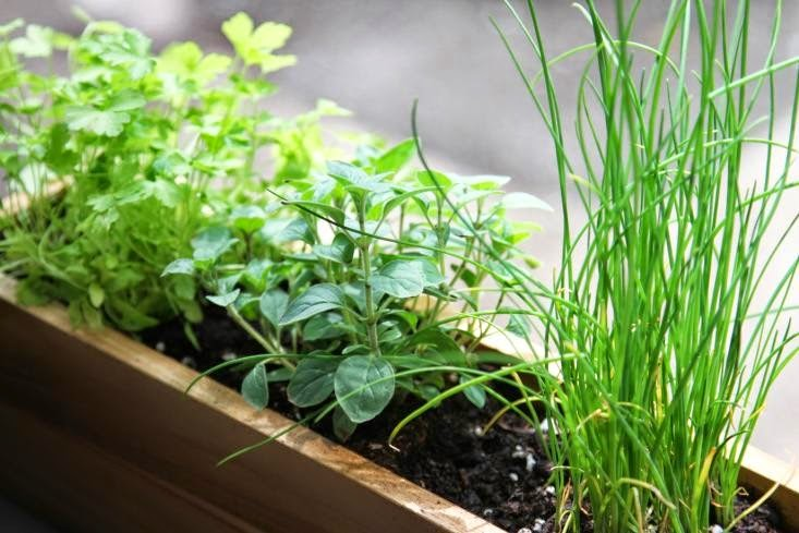 Herbs for Your Windowsill