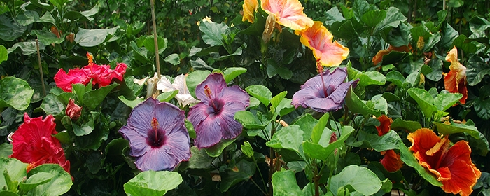 A Review Of The Medicinal Uses And Phytochemistry Of Hibiscus