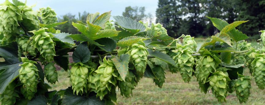 Hops Provide an Abundant Source of Nutritionally and Pharmaceutically Relevant Compounds