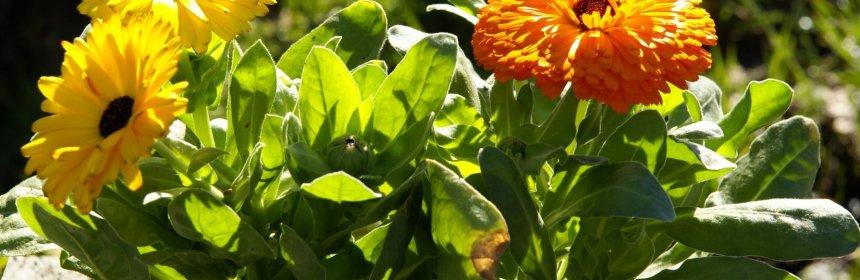 Caring With Calendula | Crooked Bear Creek Organic Herbs