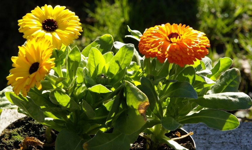 Caring With Calendula