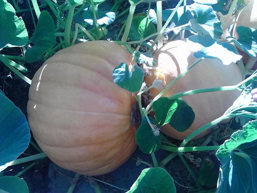 Food as Medicine Update: Pumpkin (Cucurbita pepo, Cucurbitaceae)