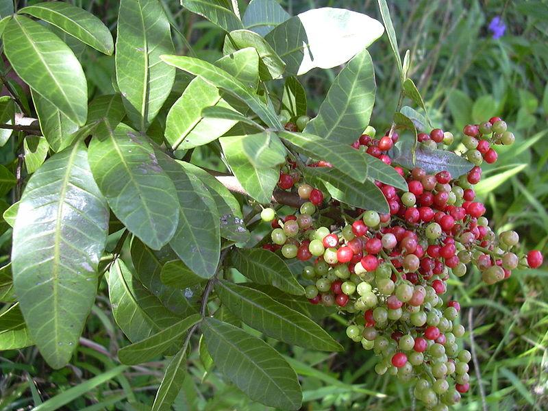 Antileishmanial Herbs from Brazil's AtlanticForest