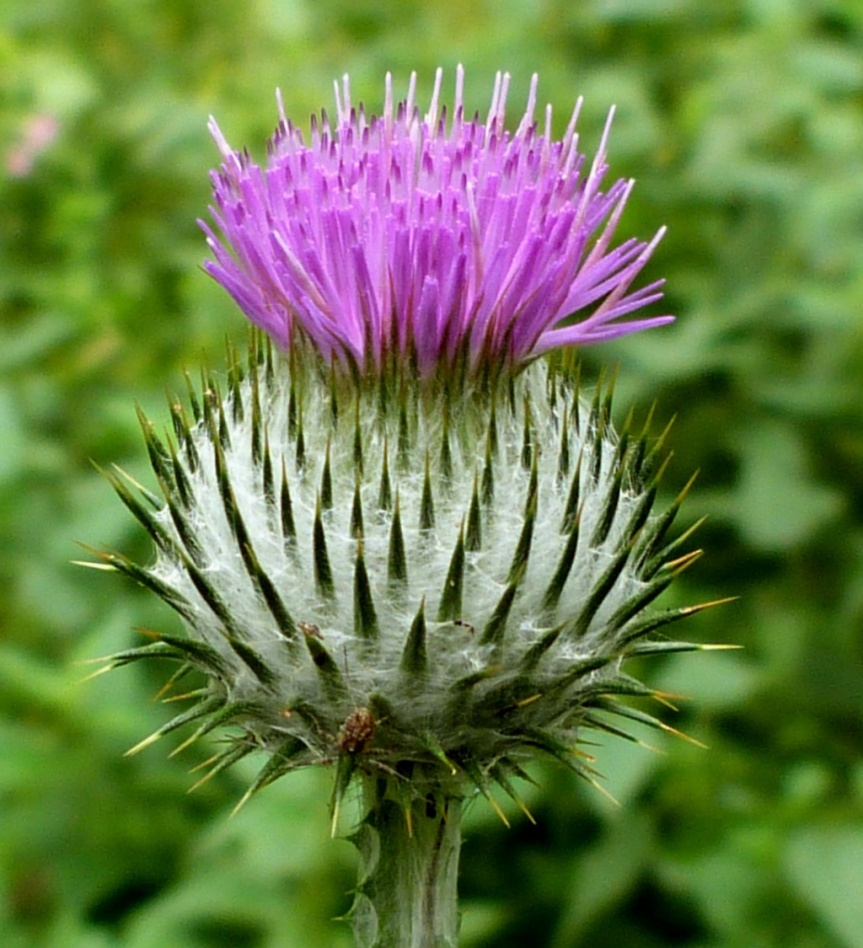 Cotton Thistle Extract Lowers Blood Pressure in Patients Treated for Primary Hypertension