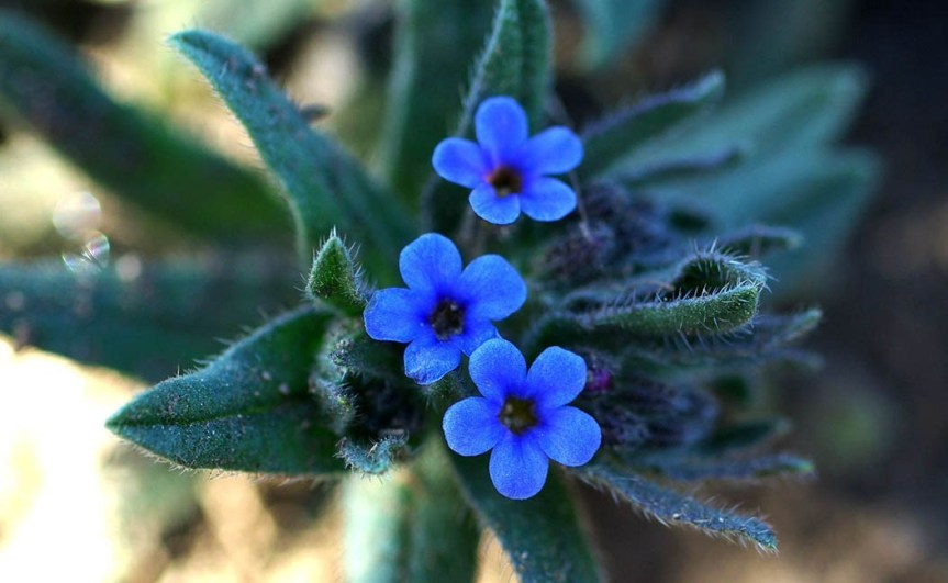 True Alkanet — The Saga – Richo's Blog