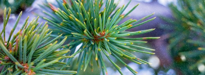 cedarwood-essential-oil-benefits-uses-scientific-research-recipes-1140x420