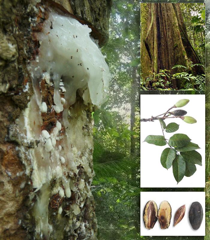 elemi-tree-resin